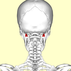 Rectus capitis lateralis muscle01.png