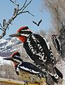 Red-Naped Sapsucker from The Crossley ID Guide Eastern Birds.jpg