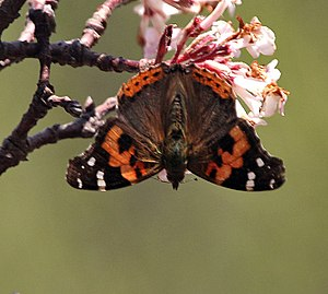 Vanessa indica - Image: Red Admiral I IMG 7045