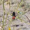 Red Beetle 2.jpg