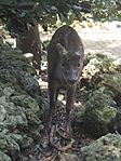 Red Brocket Deer in Barbados 03.jpg