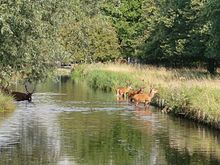 a colour photograph of a straight stretch of water with a grassy bank, and trees in the background and reflected in the water. Five Red Deer stags are in the water, three are grazing the bank.