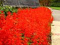 Red Flowers SA.JPG