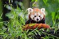 Red Panda (20056670743).jpg