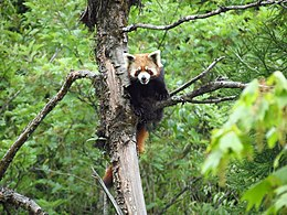Red Panda at Neora Valley National Park West Bengal India 2012.jpg