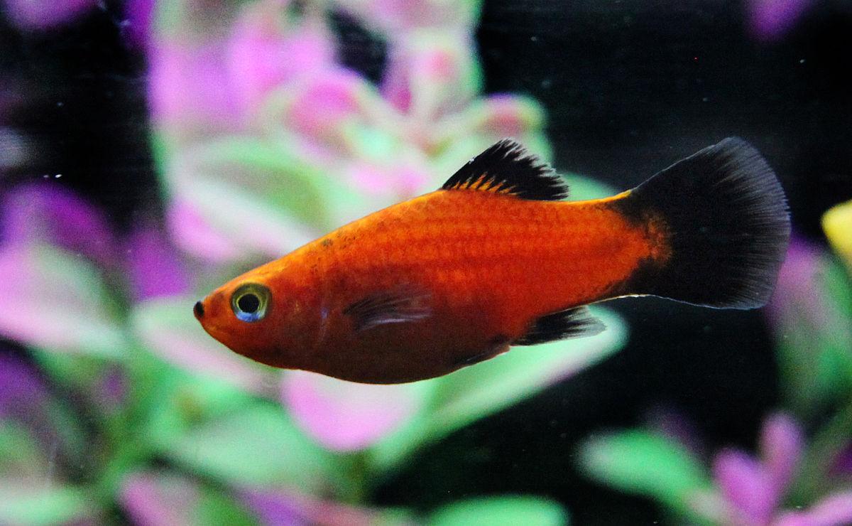 Xiphophorus maculatus wikipedia for Platy fish breeding