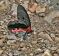 Redbreast (Princeps alcmenor) at Jayanti, Duars, WB W IMG 5588.jpg