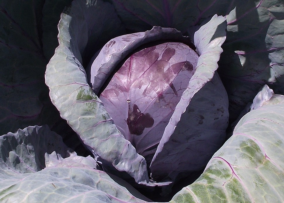 Redcabbage-planted