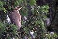 Redwing - December 2010 (5235232123) (2).jpg