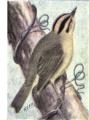 Reed-carolina-wren.png