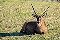 Resting Impala (Kobus ellipsiprymnus).jpg