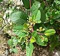 Rhamnus betulifolia var obovata 1.jpg
