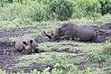 Rhinoceros in Hluhluwe–Imfolozi Park 02.jpg