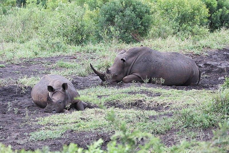 afrikanza-hluhluwe-rhinos