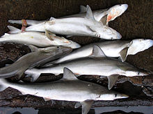 Several freshly caught, slender gray sharks with long snouts and large eyes, lying on a pier