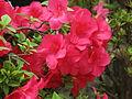 Rhododendron 'Ritenitis' 01.JPG