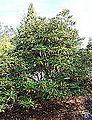 Rhododendron aberconwayi - Mendocino Coast Botanical Gardens - DSC02065.JPG