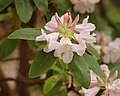 Rhododendron cv. SW53-699 B-6 Flower Head 2500px.jpg