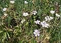 Richardsons geranium Geranium richardsonii.jpg