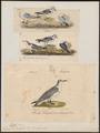 Rissa tridactyla - 1700-1880 - Print - Iconographia Zoologica - Special Collections University of Amsterdam - UBA01 IZ17900302.tif