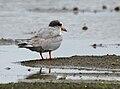 River Tern (Sterna aurantia) W IMG 0092.jpg
