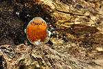 Robin - Lackford Lakes - Explored --) (24063001034).jpg