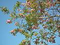 Robinia pseudoacacia à Médis.JPG