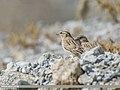 Rock Sparrow (Petronia petronia) (31897183278).jpg
