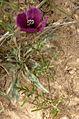 Roemeria hybrida 1 (Espagne).JPG