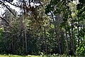 Romashkivka Kivertsivskyi Volynska-Forest alley nature reserve-view from the forest on the other side of the road.jpg