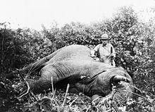 Black and white photograph of Theodore Roosevelt, three-quarter length portrait, standing next to dead elephant, holding gun, probably in Africa.