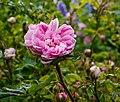 Rosa 'Salet'. Locatie, De Kruidhof Buitenpost 01.jpg