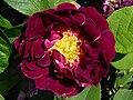 Rosa 'Tuscany' J1.jpg