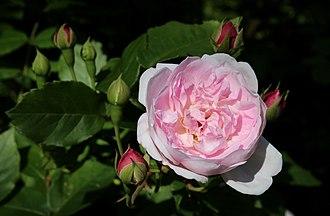 Rosa 'Blush Noisette' - 'Blush Noisette' flower and buds