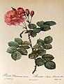 Rosa Damascena aurora 001.JPG