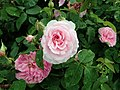 Rosa Gertrude Jekyll 2019-06-07 1364.jpg