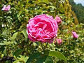 Rosa Louise Odier 2018-07-10 5311.jpg