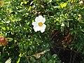 Rosa bracteata J. C. Wendl. (AM AK312346-1).jpg