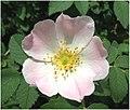 Rosa canina inflorescence (108).jpg