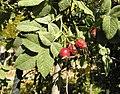 Rosa tomentosa fruit (05).jpg