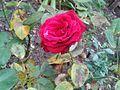 Rosas en el jardín.jpg