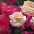 Rose, Lido di Roma, バラ, リド ディ ローマ, (15321569493).jpg