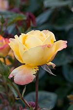 Rose, Spectra - Flickr - nekonomania (2).jpg