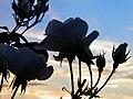Rose (Rosa) et coucher de soleil (2).jpg