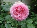 Rose Ronsard.jpg