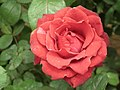 Rose from Lalbagh flower show Aug 2013 8540.JPG