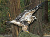 Rough-legged Hawk RWD1.jpg