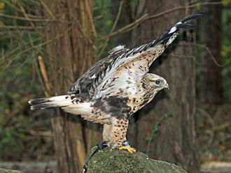 Rough-legged buzzard - The feet are feathered.