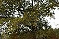 Roville-aux-Chênes, feuilles de chêne en automne.jpg