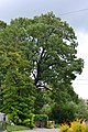 Rozhyshche Volynska-Fraxinus ordinary nature monument-view from west.jpg